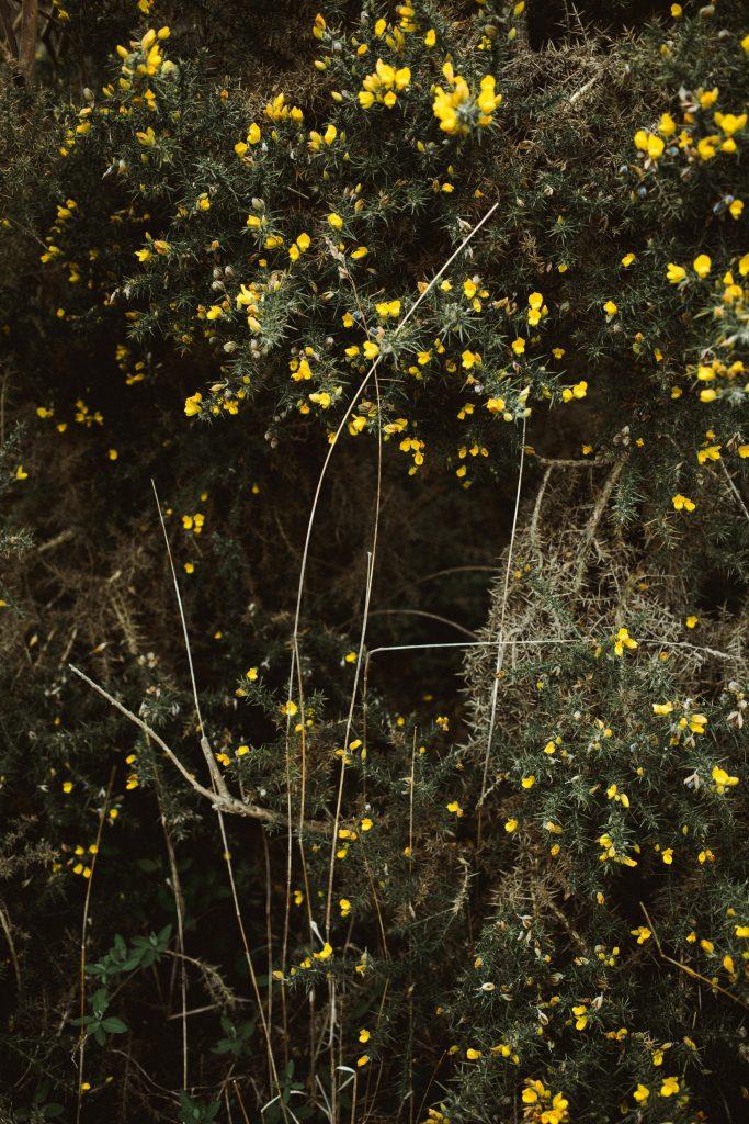 bretagne-fleur-jaune